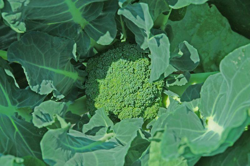 ブロッコリーを簡単に育てる家庭菜園