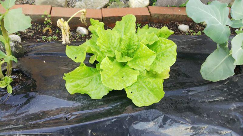 サンチェを簡単に育てる家庭菜園